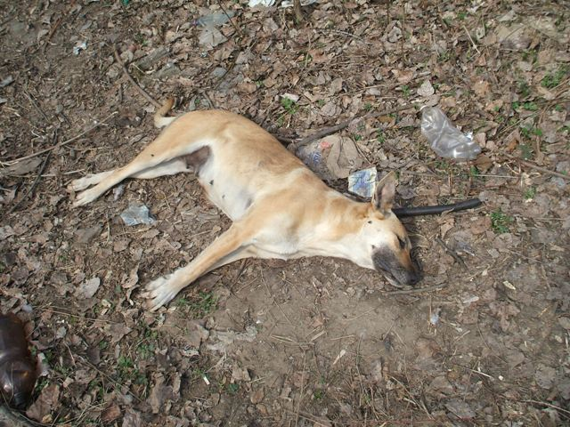 The corpse of the oldest bitch named Big Mama. Dog catchers hit her with their car and killed her right at the spot by smashing her neck